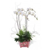 Four Phalaenopsis Orchids (Color of Your Choice)