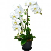 Pure White Taiwan Orchids (3pcs)