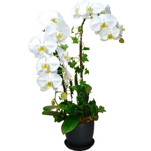 Pure White Taiwan Orchids (3pcs)