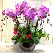 8 Phalaenopsis Orchids (Color of Your Choice)
