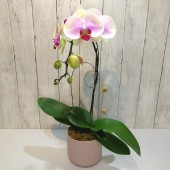 One Orchid (Colour of Your Choice)