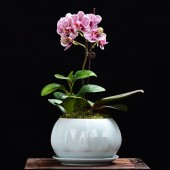 One Mini Orchid (Color of Your Choice)